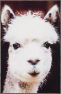 Teppich »Lama« 100 x 150 cm Andiamo, rechteckig, Höhe 5 mm, Kurzflor